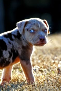 Catahoula Pup... Wow the blue eyes