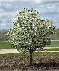 Spring Snow White Flowering (Fruiteless) Crabapple Tree. Coming soon the the Potter/Venemon home!