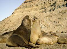 Charlando en Punta Ninfas.  Y es alucinante poder acercarse tanto que hasta escuchás la conversación que estaban teniendo. Muy interesante. Esto es a 60 km al sur de Puerto Madryn, un paraíso, hogar de estos simpáticos elefantes marinos.