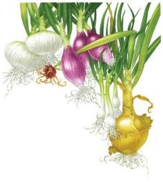 Growing Onions, leeks, scallions and shallots.plus harvesting, storage, and seed saving Homestead Gardens, Farm Gardens, Growing Onions, Growing Shallots, Growing Veggies, Mother Earth News, Organic Gardening Tips, Vegetable Gardening, Grow Organic