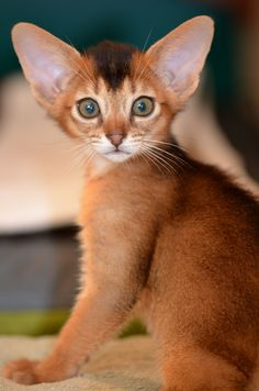 Abyssinian kitten from Super-Aby Cattery - Spoil your kitty at www.coolcattreehouse.com