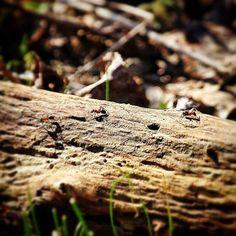 #Spring is in the air. The red #ants are on the move. Lentezon en daar gaan ze. De Rode mieren zijn weer wakker. #instanature #igersholland #nature #naturinsta #naturelover #Staatsbosbeheer_featureme #hollandsduin #lente