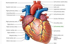 anatomy of the heart - Google Search
