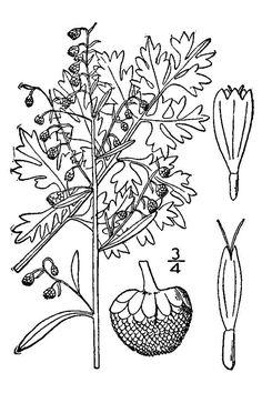 Large Line Drawing of Artemisia absinthium
