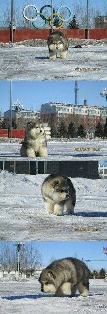 Husky husky