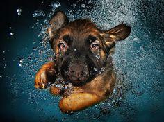 German Shepherd puppy swimming underwater!