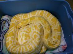 Python - Burmese - Lutino or Amelanistic morph Burmese, Snakes, Python, Animal Kingdom, Reptiles, Kawaii, Animals, Kawaii Cute, Animaux