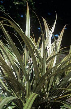 Pseudopanax sabre family araliaceae originating from new zealand bush flax westland thecheapjerseys Gallery