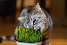 Você já pensou em plantar grama do milho para o seu gato?