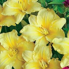Continuous Blooming Daylilies Sturdy perennials, daylilies hold up well in a ma… - Modern Mailbox Garden, Mailbox Landscaping, All Flowers, Beautiful Flowers, Spring Hill Nursery, Winter Plants, Bloom Where You Are Planted, Garden Bulbs, Just Dream