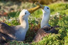Nesting pair of Waved albatross, Punto Suarez, Espanola Island, Galapagos Islands, Ecuador.