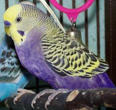 violet & Yellow budgie