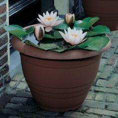 nénuphar blanc dans un jardin aquatique en pot en plastique