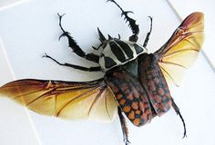 Large Horn Beetle Mecynorrhina Oberthuri Real by ButterfliesArtist Insect Art, Beetle, Horns, Insects, Animals, Animales, Animaux, Bicycle Crunches, Horn