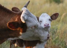 Instead of abruptly separating calves and cows post-birth, some farmers are experimenting with gentler, more gradual methods. Cute Baby Cow, Baby Cows, Cute Cows, Farm Animals, Animals And Pets, Funny Animals, Cute Animals, Cow Pictures, Animal Pictures