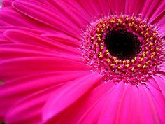 Pink Gerberas, one of my most favorite flowers.