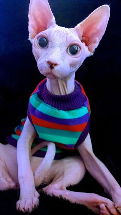 Yolo Sphynx Cat Clothes by TheSpoiledSphynx on Etsy I Love Cats, Crazy Cats, Bambino Cat, Sphynx Cat Clothes, Cats In Clothes, Sphinx Cat, Blue Cats, Beautiful Cats, Cat Breeds