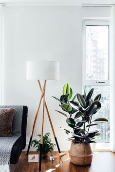 Get some tips on how to grow Ficus elastica—or rubber plants—indoors, including advice on avoiding leaf yellowing and dropping. Get some tips on how to grow Ficus elastica—or rubber plants—indoors, including advice on avoiding leaf yellowing and dropping. Ficus Elastica, Best Indoor Trees, Best Indoor Plants, Indoor Garden, Outdoor Plants, Rubber Plant, Rubber Tree, Indoor Plant Wall, Decoration Plante