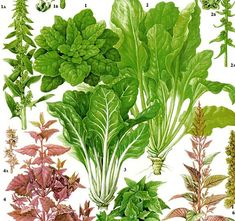 Spinach Swiss Chard Salad Plant Flowers Food Chart Vegetable Botanical…