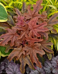 Perennials Red Rover Heucherella has beautifully lobed leaves and will be a stand out plant in your shady perennial garden. Vertical Garden Diy, Heuchera, Plants, White Plants, Small Japanese Garden, Shade Garden Plants, Rare Plants, Trees To Plant, Shade Plants