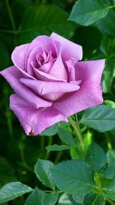 A seduction that can not leave. For you to only retrieve. The lust between you and me. Beautiful Rose Flowers, Love Rose, Amazing Flowers, Fresh Flowers, Rose Images, Rose Pictures, Rose Reference, Rose Violette, Single Rose