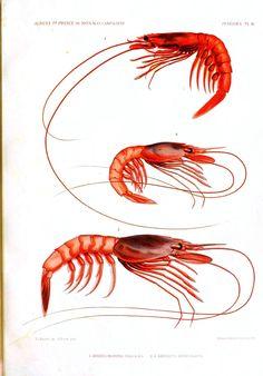 Animal - Crustacean - Educational plate, shrimp 3