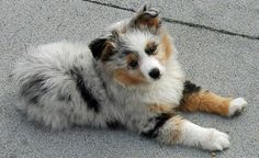 Baby dog...I miss my ripley  http://www.dailypuppy.com/puppies/arlo-the-australian-shepherd_2009-12-10