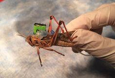 EEUU trabaja en un proyecto que utiliza insectos para detectar bombas y otros explosivos