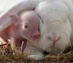 This piglet and this bunny cuddling. this whole article is wonderfully cute Het biggetje veilig en beschermd door het oor van z'n vriendje konijn.