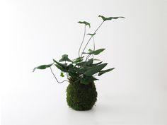 Hemionitis arifolia • kokedama