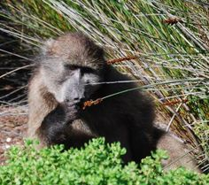 Baboon eating seeds in Harold Porter Botanical Garden - Betty's Bay. Baboon, Botanical Gardens, Seeds, Places, Animals, Life, Animales, Animaux, Animal