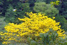 corteza amarilla costa rica -