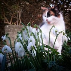 Two of our favourite things at Gunby in one photo today: our cat called Committee and snowdrops  #gunbyhall #nationaltrust #ntmidlands #ntsnowdrops #snowdrops #winterflowers #February #cat #catagram #catstagram #instacat #catsofinstagram #countryside #gardens #garden #heritage #tradition #nature #tranquil #Lincolnshire #England #Britain ##ig_creativepics by ntgunbyhall