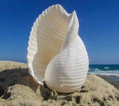 Pretty white shell