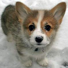 Meet The Cutest Animal Ever: Welsh Corgi Puppy