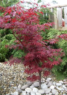 Japanese Maple tree - would be great for a small garden Small Garden Japanese Maple, Japanese Tree, Japanese Garden Design, Acer Trees, Architectural Plants, Garden Plants, Garden Trees, Front Yard Landscaping, Small Gardens