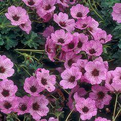 Harmaakurjenpolvi Ballerina - Viherpeukalot, tämäkin sopisi etupihalle... Clay Soil, Large Flowers, Flowers, Soil, Garden, Cottage Garden, Plants, Geraniums, Home And Garden