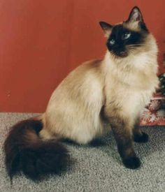 Balinese cat- mine is named Ashes. Great temperament and very playful.