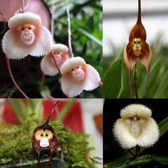 A quase desconhecida Orquídea macaco