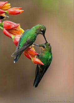 Colorful Birds -Hummingbird - They're so little but so full of energy. Kinds Of Birds, All Birds, Cute Birds, Pretty Birds, Little Birds, Beautiful Birds, Animals Beautiful, Cute Animals, Exotic Birds