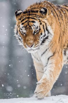 A Tiger (Photo By: Maxime Riendeau on 500px.)