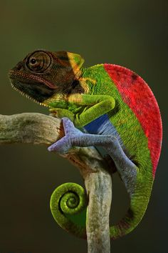 This is a third generation South African captive-bred veiled chameleon