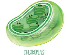 Items similar to Chloroplast / Wall art print / biology / cell / cute / science / organelle / green / nursery / scientist / lab / microbiology / poster on Etsy Biology Art, Cell Biology, Molecular Biology, Science Biology, Science Art, Life Science, Science And Nature, Biology Classroom, Biology Teacher
