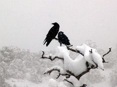 """""""The way a crow Shook down on me The dust of snow From a hemlock tree Has given my heart A change of mood And saved some part Of a day I had rued."""" ~Robert Frost: """"Dust of Snow"""" The Crow, Beltane, Samhain, Quoth The Raven, Raven Art, Jackdaw, Image Blog, Crows Ravens, Winter Snow"""