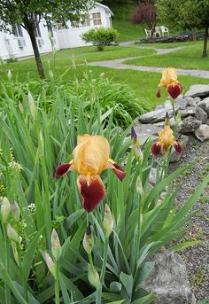 The very first of the 2012 irises in the front garden at the Inn at Silver Maple Farm in the upper Hudson Valley.