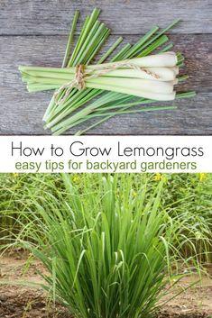 How to Grow Lemongrass gardeningtips lemongrass gardens # Lemongrass Recipes, Grow Lemongrass, Edible Garden, Easy Garden, Herb Garden, Garden Ideas, Gardening For Beginners, Gardening Tips, Culture D'herbes