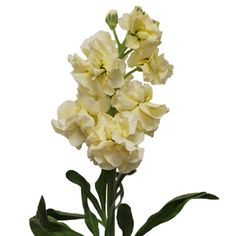 Stock Light Yellow Flower is a chic and cheerful way to add a demure splash of ruffled color to your flower arrangements from FiftyFlowers.com