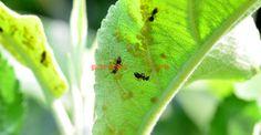 Afide (păduchi de frunze) Fruit Trees, Grape Vines, Plant Leaves, Gardening, Plants, Paradis, Blueberries, Agriculture, Life