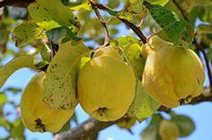 Apfelquitte, Birnenquitte - Pflege, Schneiden und Sorten
