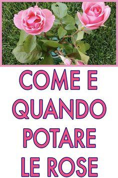 Potatura delle rose : quando e come effettuarla Landscape Design, Garden Design, Pruning Roses, Rose Bouquet, Plant Care, Garden Paths, My Flower, House Plants, Outdoor Gardens